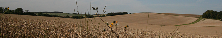 Wheat field, Berkshire Downs
